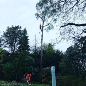 Removing problem trees Prestbury