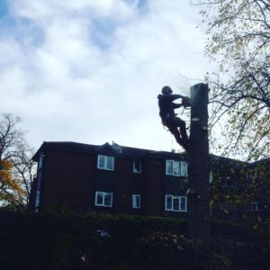 Removing problem trees Hazel Grove